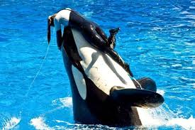 Image result for dawn the killer whale trainer